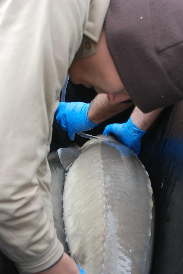 by ANGELICA A. MORRISON / USFWS biologists examine a lake sturgeon.