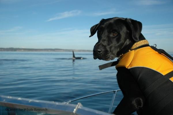 <p>Tucker, a dog from the University of Washington Conservation Canines program, on a research boat following southern resident killer whales.</p>