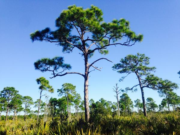 Pine Island Flatwoods Preserve, Lee County