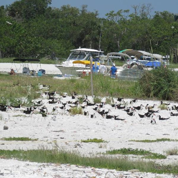 Black Skimmers and Least Terns nesting on Sand Dollar Island over Memorial Day Weekend