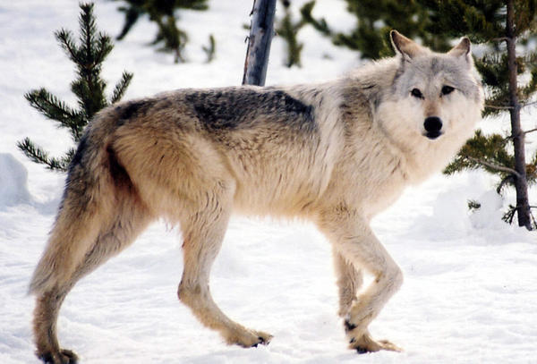 A gray wolf in the wild. Park officials say hunting restrictions in place in parts of of Montana have protected Yellowstone's wolves from a repeat of a 2009 hunt in which four Yellowstone wolves were shot.