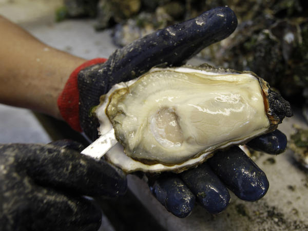 An oyster shucker on Samish Island, Wash. on Puget Sound. The state is frequently forced to close beaches to oyster gatherers because of the risks of harmful algae blooms.