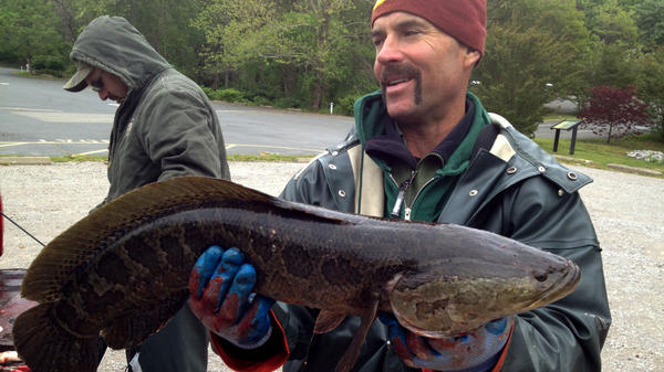 John Odenkirk holds up a snakehead. The fish can survive for long periods of time out of water as long as they're kept moist. They breathe air by gulping it, so they don't need to stay submerged.