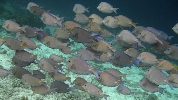 A school of Blue Tang fish swimming together off the Caribbean island of Bonaire. It has long been assumed that the schooling behavior of fish evolved in part to protect animals from being attacked by predators.