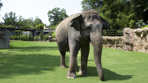 Shanthi explores her yard at the Smithsonian National Zoo in Washington, D.C., in 2010. The 36-year-old Asian elephant loves blowing into a harmonica.