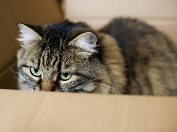 "Not <a href=""http://www.lassp.cornell.edu/ardlouis/dissipative/Schrcat.html"">Schrödinger's (unfortunate) cat</a>."
