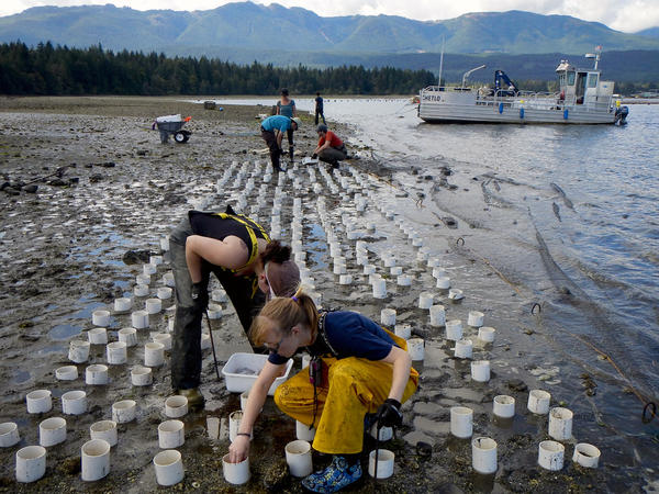 A geoduck farm near Totten Inlet, Washington.