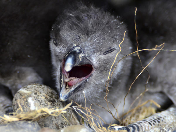 "A penguin nestling sounds off at the Punta Tombo reserve. Young birds that haven't yet traded a down coat for juvenile plumage ""aren't waterproof — at all,"" says biologist Dee Boersma."