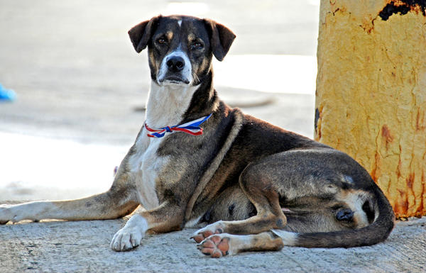 One of several free-roaming dogs who live on the beach at Punta Santiago in Puerto Rico who have formed a loose association with a group of homeless men also living on the beach.