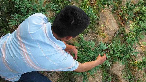 Nabor, a small-scale marijuana grower in the northwestern Mexican state of Sinoloa, checks his plants. As legal pot increasingly becomes available in the U.S., Americans appear to be buying more that is grown domestically. Prices for marijuana from Mexico have fallen sharply.
