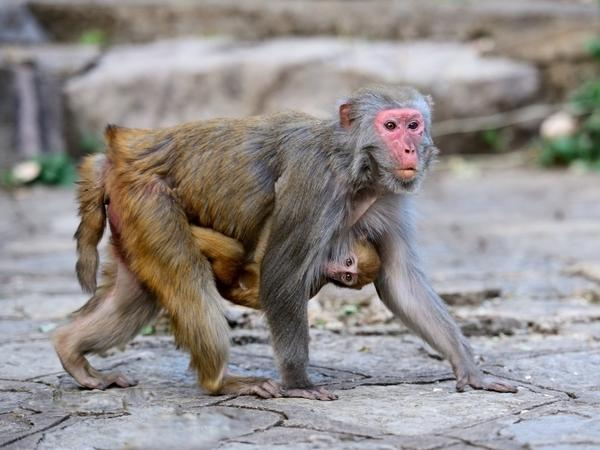 A rhesus monkey mother with her baby in the wild.