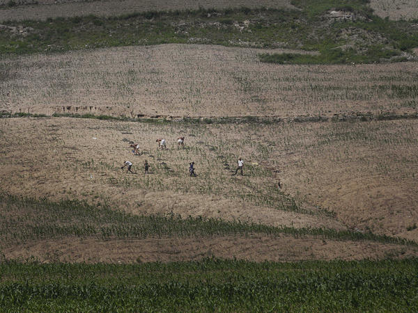 Farmers worked in June in a cornfield in a southern region of North Korea that has seen unusually light rainfall this year.
