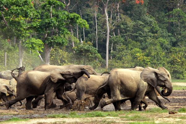 African forest elephants stampede in the Central African Republic jungle.