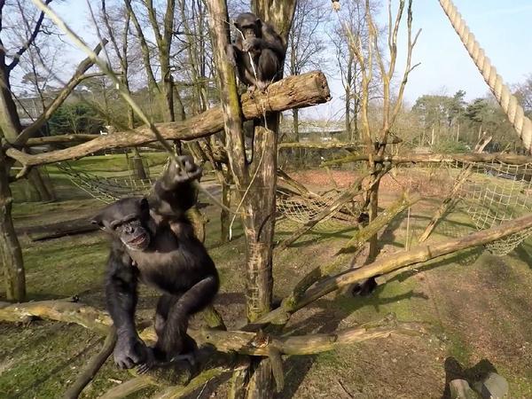 Drone-smashing chimpanzees play at the Burger's Zoo in Arnhem, Netherlands.