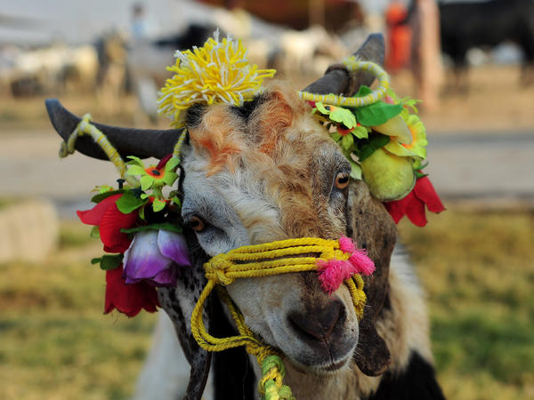 Many of animals sold for the holiday are freshly shampooed and decorated with blobs of orange henna and garlands of brightly colored plastic flowers.