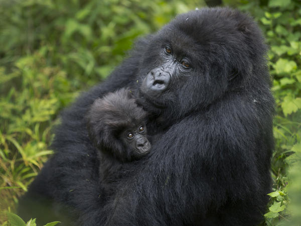A mother mountain gorilla holds her baby in Volcanoes National Park, Rwanda on Sept. 4, 2015.