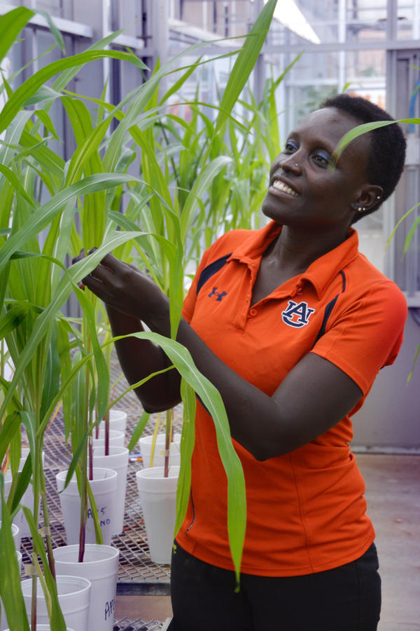 Esther Ngumbi's mother urged her to do well in school. She was the first girl from her village to earn a Ph.D. (in entomology) and now does postdoctoral research on plant pathology at Auburn University. Above, she's inspecting some corn plants treated with rhizobacteria to promote growth.