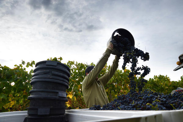 A worker tips a bucket of harvested Shiraz grapes into a collection tub at the Helen & Joey Estate vineyard in the Yarra Valley region of Greater Melbourne, Australia. China is now the biggest importer of Australian wine.