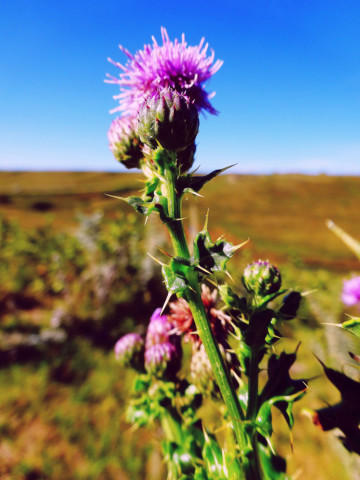 <p>Canada thistle, a noxious weed.</p>