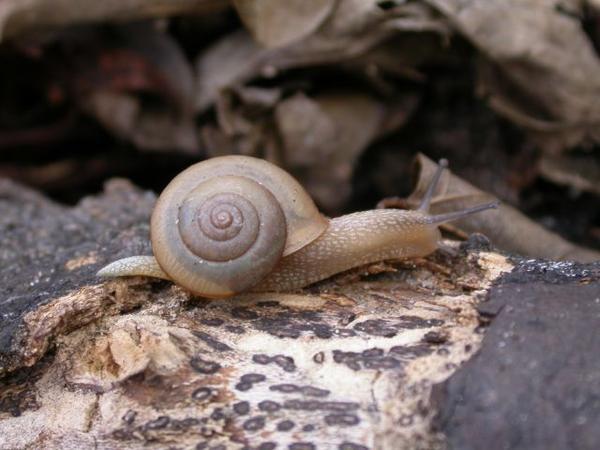 Bradybaena similaris, a type of snail that harbors the dangerous rat lungworm parasite.