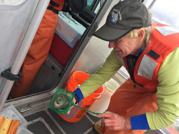 <p>NOAA research fisheries biologist Laurie Weitkamp measures juvenile salmon on a research boat on the Columbia River.</p>