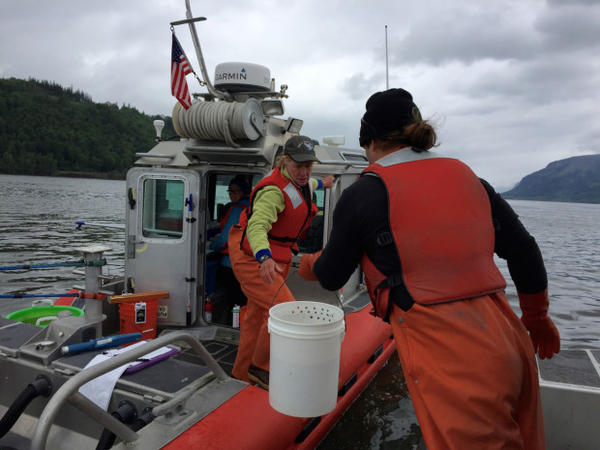 <p>Research fisheries biologist Laurie Weitkamp with National Oceanic and Atmospheric Administration collects juvenile salmon from the Columbia River.</p>