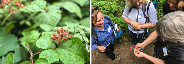 An invasive non-native plant called Wineberry (left) produces delicious red fruit related to raspberries. Choukas-Bradley and the forest bathers (right) open a bladdernut capsule and see the shiny seeds — like popcorn kernels inside. This forest bathing excursion was sponsored by the Audubon Naturalist Society.
