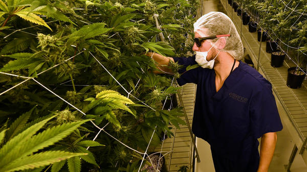 "A man tends to marijuana plants at a 54,000-square-foot marijuana cultivation facility in Las Vegas. In Nevada's first weekend of recreational pot sales, ""well over 40,000 retail transactions"" were carried out, tax officials say."