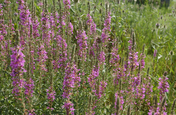 Purple Loostrife invasive species in the Great Lakes / Michigan Sea Grant