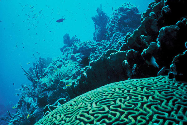 Brain Coral in a Florida reef