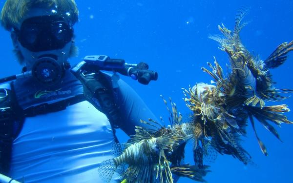 A diver spears a number of lionfish.