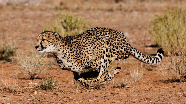 An African cheetah (acinonyx jubatus lanea) at Inverdoorn Game Reservein South Africa.