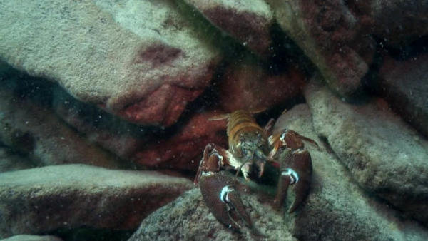 <p>Invasive Crayfish at Crater Lake.</p>