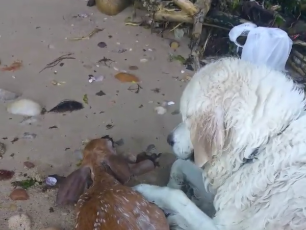 Storm, an English golden retriever, rescued a baby deer from the Long Island Sound on Sunday.