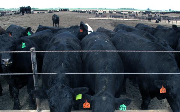 Cattle feed at a Nebraska feedlot.