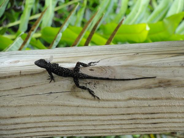 Cuban anole, an invasive species