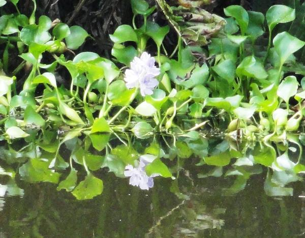 Invasive water hyacinth
