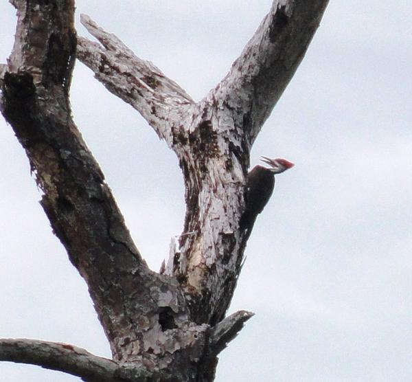Red pileated woodpecker