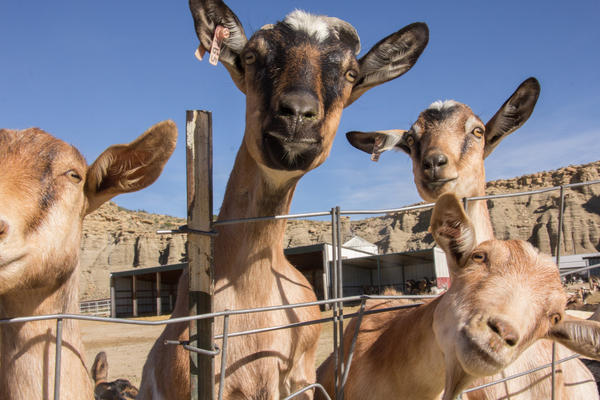 """""""The goats are kind of cool,"""" says former inmate Chad Redding. """"The females are like dogs — they just want your attention."""""""
