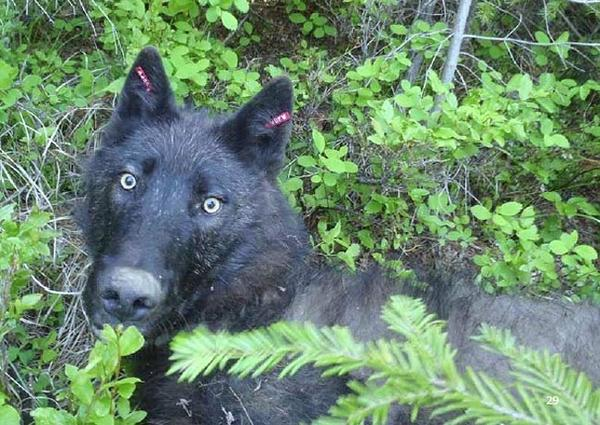 File photo of a male wolf from the Smackout pack in Northeast Washington state.