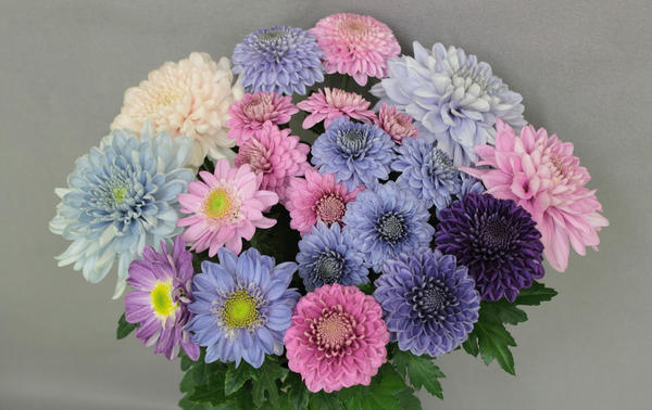 Combination of pink and genetically engineered blue chrysanthemums.
