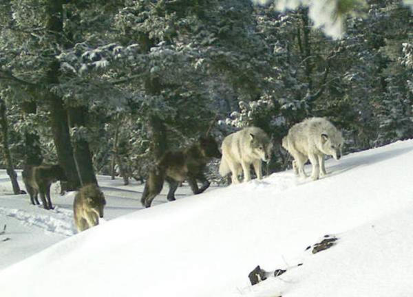 <p>A pack of wolves makes their way through the snow in Northeastern Oregon.</p>