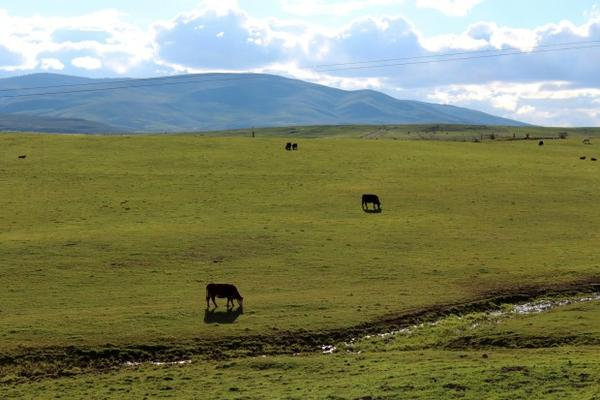 <p>Cattle graze in a pasture in Baker County, Oregon.</p>