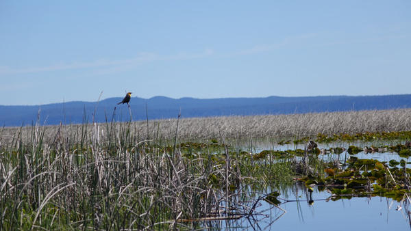 <p>Yellow headed blackbirds make their homes in the marshes of Upper Klamath.</p>