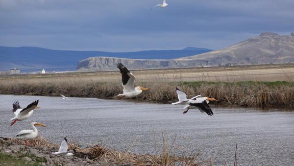 <p>White Pelicans patrol Tule Lake.</p>