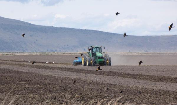 <p>Yellow-headed black birds swarm on the edge of a farm field on Tule Lake National Wildlife Refuge.</p>
