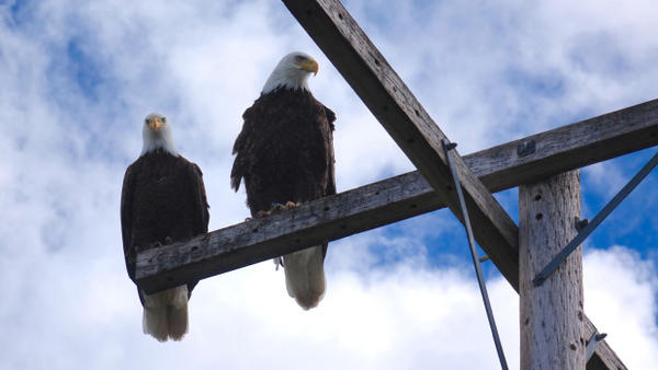 <p>Bald eagles rest on roosts at Tule Lake.  Farmers say real eagles can help drive destructive geese out of fields.</p>