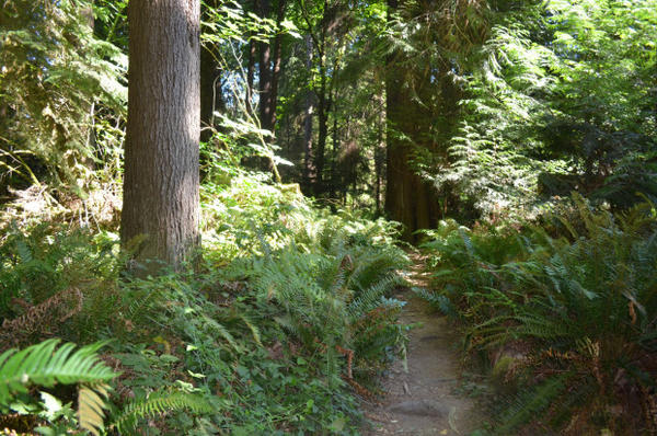 <p>Sword ferns line the trail in a still-healthy section of Seattle's Seward Park.</p>