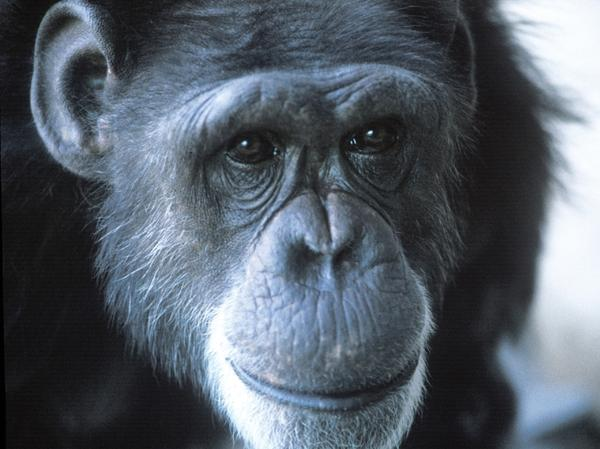 Washoe, a female chimpanzee believed to be the first non-human to acquire human language, died Oct. 30, 2007 of natural causes.