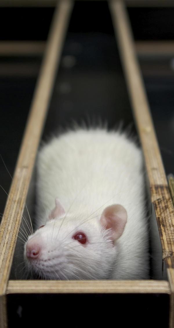 A lab rat stuck in a maze